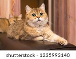 cat with green eyes   adorable... | Shutterstock . vector #1235993140