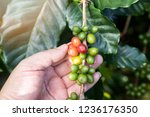 coffee berries on tree with... | Shutterstock . vector #1236176350