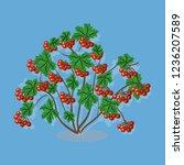 Branches Of Viburnum Berries...