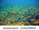 yellow tropical fish scho....   Shutterstock . vector #1236208960