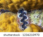maxima clam with blue lips....   Shutterstock . vector #1236210970