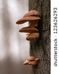 Beech And Fungus On A Tree