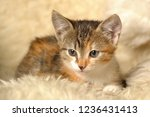 tricolor with stripes kitten on ... | Shutterstock . vector #1236431413