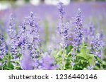 beautiful lavender flower in... | Shutterstock . vector #1236440146