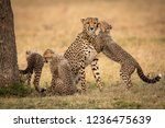 cub hugs and nuzzles cheetah... | Shutterstock . vector #1236475639