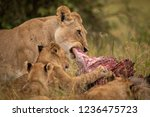 Close Up Of Lioness Chewing...