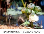 a white lotus planted on the...