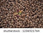 walnuts with autumn leafs - stock photo