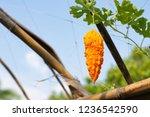orange ripe hanging fruits of... | Shutterstock . vector #1236542590