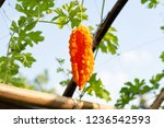 orange ripe hanging fruits of... | Shutterstock . vector #1236542593
