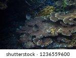 stripe butterflyfish in actinia....   Shutterstock . vector #1236559600