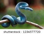 blue viper snake on branch ...   Shutterstock . vector #1236577720