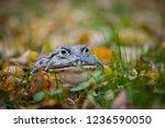 the african bullfrog  adult... | Shutterstock . vector #1236590050