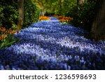 beautiful violet starch grape...   Shutterstock . vector #1236598693