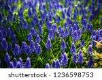 beautiful blue starch grape...   Shutterstock . vector #1236598753