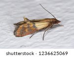 indian mealmoth plodia... | Shutterstock . vector #1236625069