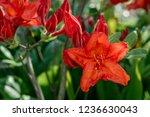 slocock hybrid azalea ... | Shutterstock . vector #1236630043