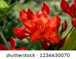 slocock hybrid azalea ... | Shutterstock . vector #1236630070