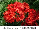 slocock hybrid azalea ... | Shutterstock . vector #1236630073