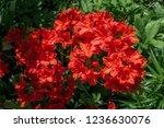 slocock hybrid azalea ... | Shutterstock . vector #1236630076