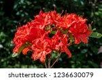 slocock hybrid azalea ... | Shutterstock . vector #1236630079