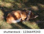 sleeping maned wolf   the maned ... | Shutterstock . vector #1236649243