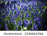 beautiful blue starch grape...   Shutterstock . vector #1236661966