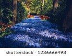 beautiful violet starch grape...   Shutterstock . vector #1236666493