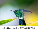 blue chinned sapphire perched... | Shutterstock . vector #1236737296