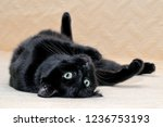 Black cat lying on his back on a plaid. Cute black cat of Bombay breed spreading its paws to the sides