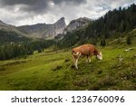 cow eating on mountain valley... | Shutterstock . vector #1236760096