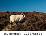 sheep on the slope of a hill in ... | Shutterstock . vector #1236766693