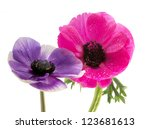 Colorful Couple Of Anemone...