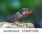 crocodile skink closeup on wood | Shutterstock . vector #1236871360