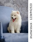 Stock photo samoyed puppy sitting on a blue chair looking to the right 1236942523