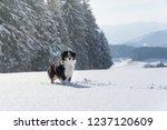 miniature australian shepherd ... | Shutterstock . vector #1237120609
