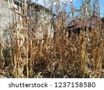 corn cob field in the garden in ... | Shutterstock . vector #1237158580