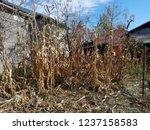 corn cob field in the garden in ... | Shutterstock . vector #1237158583