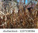 corn cob field in the garden in ... | Shutterstock . vector #1237158586