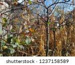 corn cob field in the garden in ... | Shutterstock . vector #1237158589