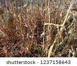 corn cob field in the garden in ... | Shutterstock . vector #1237158643