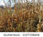 corn cob field in the garden in ... | Shutterstock . vector #1237158646