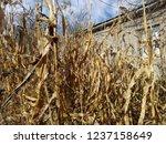 corn cob field in the garden in ... | Shutterstock . vector #1237158649
