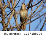 nightingale sings while sitting ... | Shutterstock . vector #1237185106