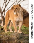 Lioness Portrait Standing On A...