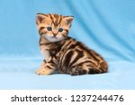 Stock photo adorable tabby kitten sitting on a blue background a small striped british kitten golden marble 1237244476