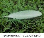 white feather of a bird. green... | Shutterstock . vector #1237245340