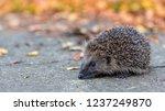 hedgehog  wild  native ... | Shutterstock . vector #1237249870