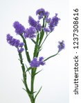 Small photo of Limonium sinuatum Girlie Wings