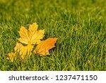 background of autumn maple leaf ... | Shutterstock . vector #1237471150
